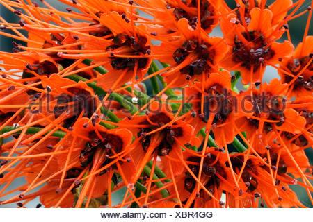 Bluete von Sutherlands Greyie (Greyia sutherlandii) Suedafrika,  (Greyia sutherlandii), blooming - Stock Photo