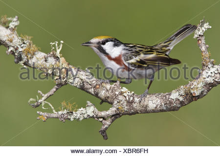 Chestnut-sided Warbler - Dendroica pensylvanica - Adult male breeding - Stock Photo
