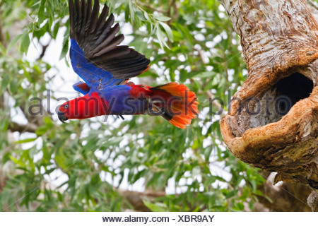 eclectus parrot (Eclectus roratus), female starting, Australia, Queensland, Cape York Peninsula - Stock Photo