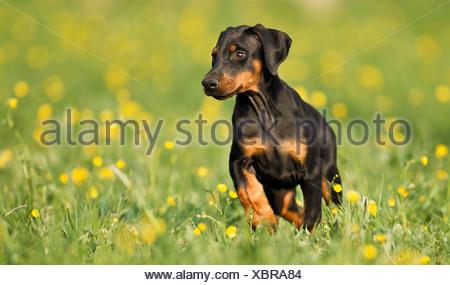 Doberman Pinscher dog - puppy on meadow - Stock Photo