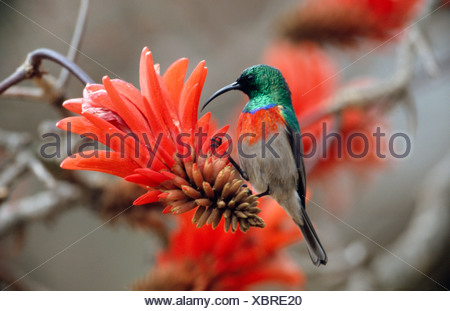 greater double-collared sunbird (Nectarinia afra), male, feeding on a flower of the Red hot poker tree, South Africa, Blyde Riv - Stock Photo