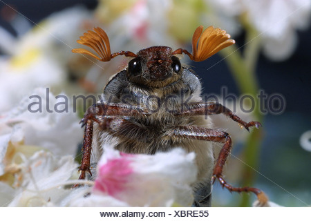 common cockchafer, maybug (Melolontha melolontha) - Stock Photo