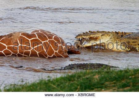 Nile Crocodile, crocodylus niloticus, Group on a Kill, a Reticulatd Giraffe drown in River, Samburu Park in Kenya