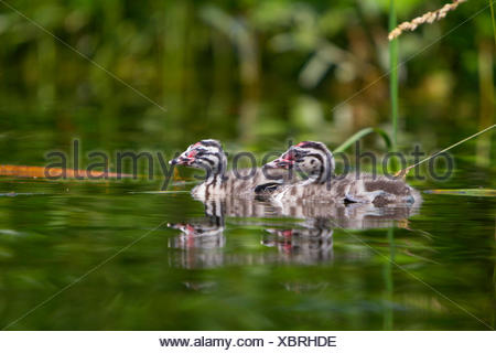 great crested grebe (Podiceps cristatus), two chicks swimming, Switzerland, Sankt Gallen - Stock Photo