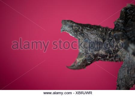 Side view of alligator snapping turtle open mouthed against red background - Stock Photo