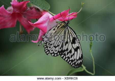 Blossoms, butterfly, white tree nymph, Idea leuconoe, Germany, Mecklenburg-West Pomerania, island Usedom, butterfly's farm route moor, animal, insect, hymenoptera, seldom, filigree, black-and-white, patterned, - Stock Photo