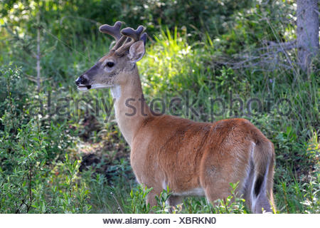 Mule Deer - Odocoileus hemionus - young male in velvet - Stock Photo