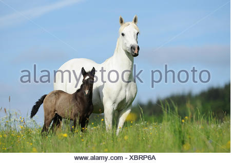 Connemara Pony. Grey mare with foal standing on a meadow - Stock Photo