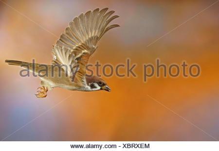Eurasian Tree Sparrow (Passer montanus), in flight, Bad Hersfeld, Hesse - Stock Photo