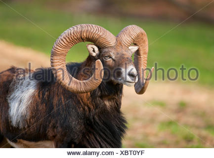 European Mouflon (Ovis ammon musimon), ram, captive, Bavaria, Germany - Stock Photo