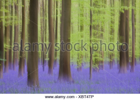 Impressie van het Blauwe bos; Blue forest impression - Stock Photo
