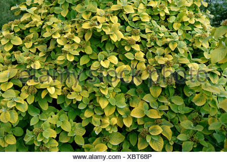 wayfaring-tree (Viburnum lantana 'Aureum', Viburnum lantana Aureum), cultvar Aureum - Stock Photo