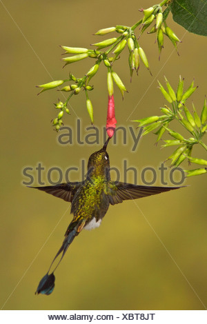 A male Booted Racket-tail hummingbird (Ocreatus underwoodii) flying and feeding at a flower in the Tandayapa Valley in Ecuador. - Stock Photo