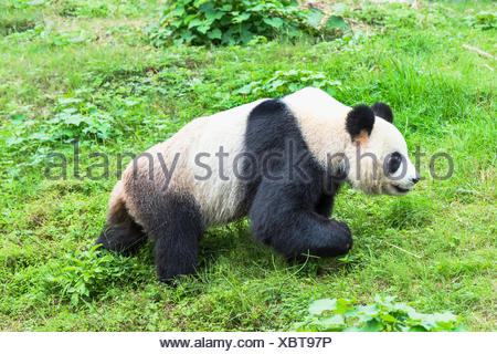 Giant Panda (Ailuropoda melanoleuca), China Conservation and Research Centre for the Giant Pandas, Chengdu, Sichuan, China - Stock Photo