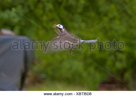 pied wagtail (Motacilla alba), flying with prey in its beak, Germany, Baden-Wuerttemberg - Stock Photo