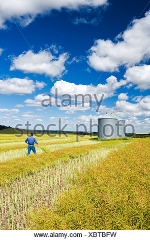 A man in maturing swathed and unswathed canola field with grain bins on top of hill, the Tiger Hills, near Bruxelles, Manitoba - Stock Photo