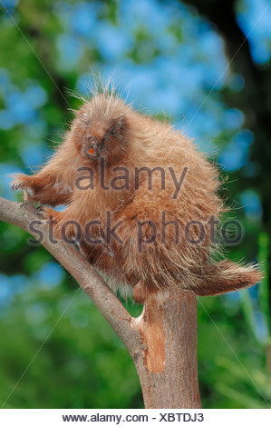 North American Porcupine / (Erethizon dorsatum) / Urson - Stock Photo