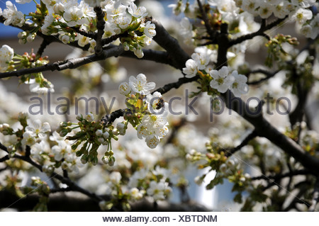 Sweet Cherry-Blossoms - Stock Photo