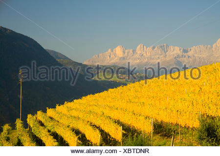 Vineyards in autumn, in front of the Rose Garden mountain chain, Dolomites, Alto Adige, Italy, Europe - Stock Photo