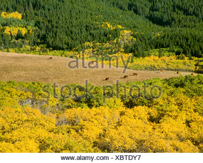 Livestock - Hereford cows grazing on a mountain meadow amidst fall colors / Alberta, Canada. - Stock Photo