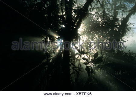 Morning mood in the cloud forest, Buenaventura Reservation, Ecuador, South America - Stock Photo