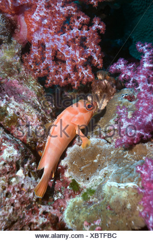 Blacktip grouper Epinephelus fasciatus perched on coral rock with soft coral Andaman Sea, Thailand - Stock Photo