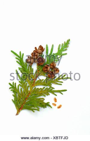 Eastern Arborvitae - Stock Photo