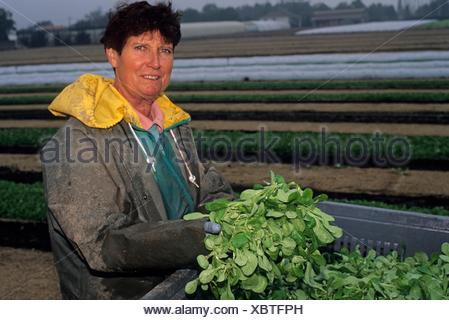 agriculture maraichere de mache (Valerianella locusta), region de Nantes, departement de Loire-Atlantique, region Pays de la Loire, - Stock Photo