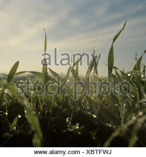 Dew drops of winter barley seedlings in early morning misty autumn light - Stock Photo