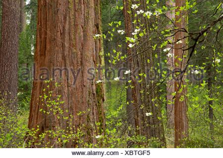 Pacific dogwood with sequoia in North Grove, Calaveras Big Trees State Park, Ebbetts Pass National Scenic Byway, California. - Stock Photo