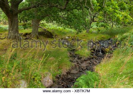 oaks along a stream - Stock Photo