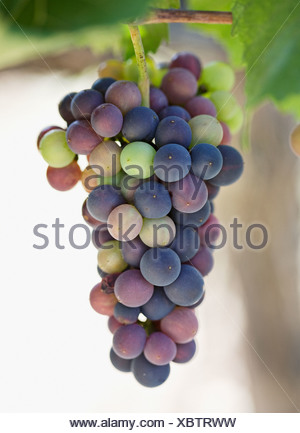 Fresh bunch of grapes hanging on vine, close-up - Stock Photo