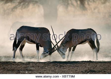 GEMSBOK  fighting - Stock Photo