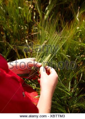 Farmer examining barley stalks in field - Stock Photo