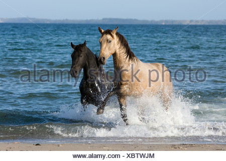 Quarab Horse stallion - Stock Photo
