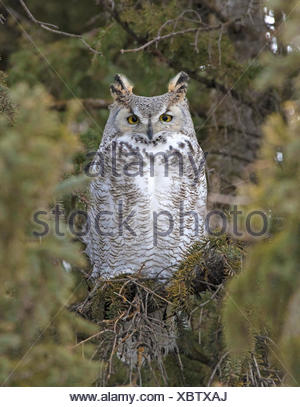 A  Great Horned Owl, Bubo virginianus, perched in a spruce tree in Saskatchewan, Canada - Stock Photo
