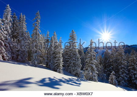 Tree, trees, spruce, spruces, back light, sky, cold, snow, Switzerland, Europe, sun, star, fir, firs, wood, forest, winter, blue - Stock Photo