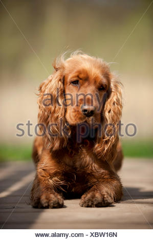 Cocker Spaniel, dog lying on the ground - Stock Photo