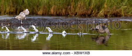European wigeon (Anas penelope, Mareca penelope), starting to a flight from a water surface, Norway, Troms, Tromsoe - Stock Photo