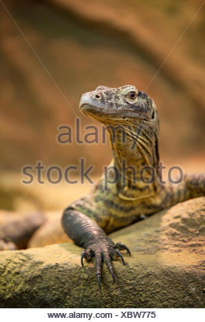 portrait of a komodo dragon - Stock Photo