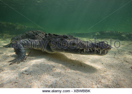 Two American crocodiles (crodoylus acutus) in the shallows of Chinchorro Atoll, Mexico - Stock Photo