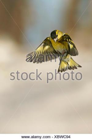 Male Eurasian Siskin (Carduelis spinus) in flight - Stock Photo