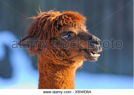 alpaca (Lama pacos, Vicugna pacos), lateral portrait - Stock Photo