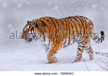 Siberian tiger, Amurian tiger (Panthera tigris altaica), walking through snow - Stock Photo