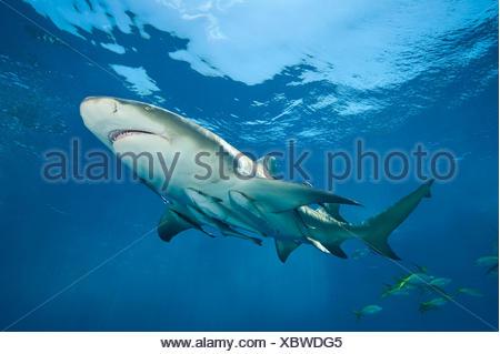 Lemon shark (Negaprion brevirostris) accompanied by Remoras (Echeneis naucrates) swimming close to surface. Grand Bahama Island. Bahamas. Tropical West Atlantic Ocean. - Stock Photo