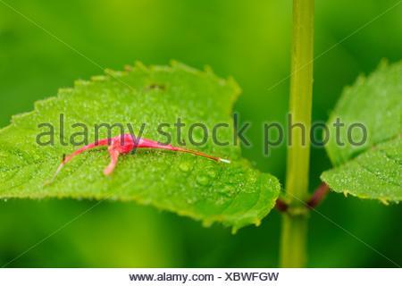 Wild Bergamot  Red bee balm, Monarda didyma Fallen petal - Stock Photo