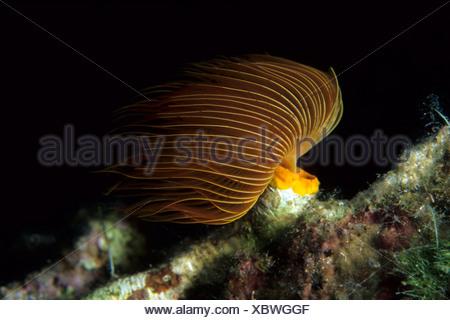 Bristle Worm Protula tubularia Vis Island Dalmatia Adriatic Sea Croatia - Stock Photo