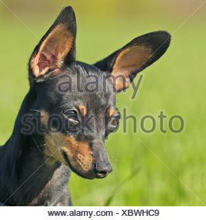 Prague Ratter dog - portrait - Stock Photo
