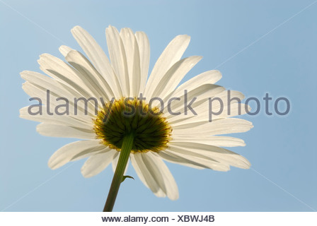 Oxeye Daisy or Marguerite (Leucanthemum vulgare), flower seen from below with backlighting - Stock Photo