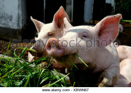 Domestic pigs (Sus scrofa domestica) being fed with green fodder, stabling with free-range area, organic farming - Stock Photo
